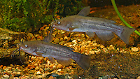 Brauner Zwergwels, Langschwänziger Katzenwels, Ictalurus nebulosus, Ameiurus nebulosus, brown bullhead, speckled catfish, horned pout, American catfish