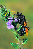 392200002 a wild tarantula hawk pepsis ssp perches on a blooming wildflower in the rio grande valley of south texas