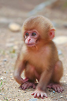 primate, baby Japanese macaque, Snow monkey, Macaca Fuscata, Jigokudani means Valley of hell hot spring, Ngano, Japan