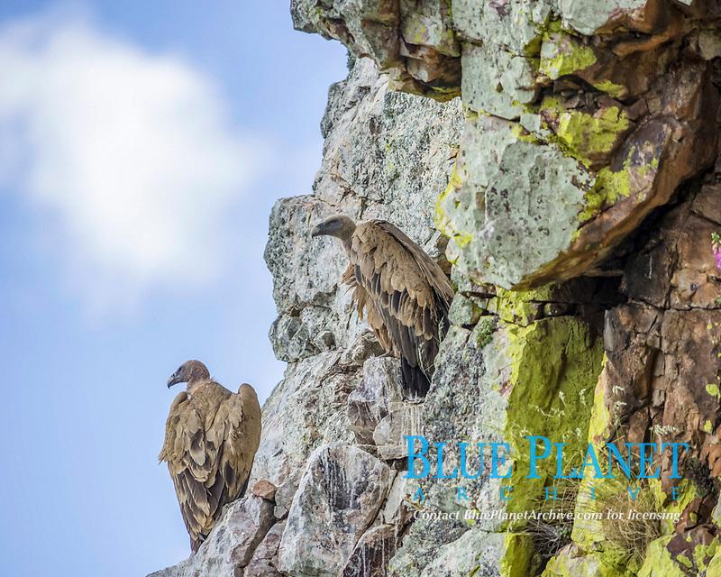 Bearded vultures (Gypaetus barbatus), young birds, Extremadura, Spain, Europe