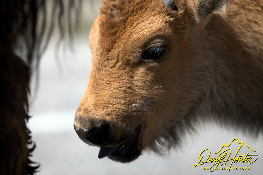 Bison Calf, Yellowstone National Park