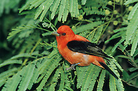 Scarlet Tanager, Piranga olivacea,male, South Padre Island, Texas, USA