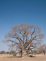 A large Baobab tree in Nyaro village, Kordofan region, Sudan