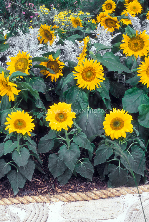 Sunflowers, dwarf, Helianthus annuus in garden with Artemisia