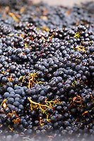 Harvested grapes. Merlot. Chateau Grand Corbin Despagne, Saint Emilion Bordeaux France