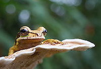 The masked tree frog is a species I've encountered on a few of my Costa Rica trips.