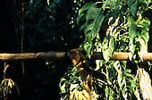 Amazon, Brazil. Monkey taking bananas from a hanging bunch; Tataquara, Xingu.