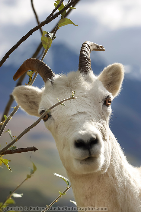 Dall sheep ewe feeds on willow leaves, Denali National Park, Alaska.