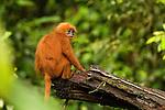 Red Leaf Monkey (Presbytis rubicunda) female, Tawau Hills Park, Sabah, Borneo, Malaysia
