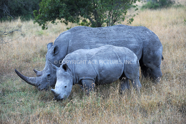 WWW.ACEPIXS.COM<br /> February 29, 2016 New York City<br /> <br /> Southern White Rhinosaurus seen at Sweetwaters Game Reserve Ol Pejeta Conservancy on February 29, 2016 in Kenya.<br /> <br /> Credit: Kristin Callahan<br /> web: http://www.acepixs.com