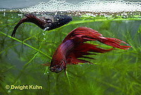 BY05-120z  Siamese Fighting Fish - male (R) mating with female (L) - female dropping eggs - Betta splendens