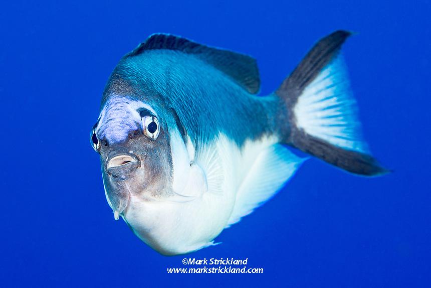Female Half-banded Angelfish, Genicanthus semicinctus, Ball's Pyramid, Lord Howe Island, Australia, Tasman Sea, Pacific Ocean