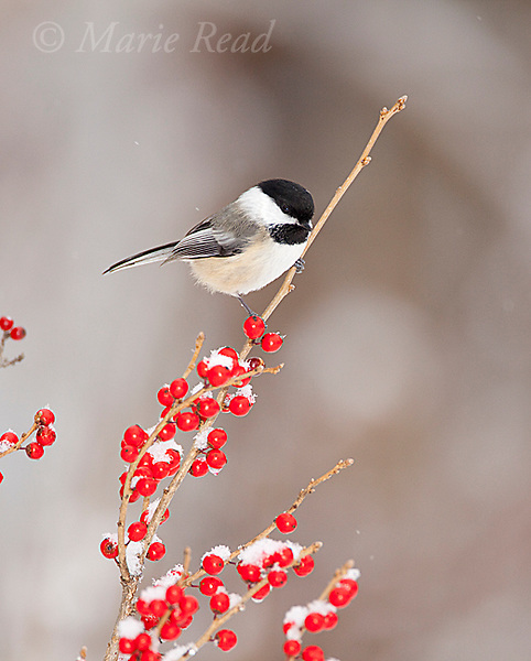 Black-capped Chickadee (Poecile atricapilla) perched amid snow-covered berries in winter, New York, USA