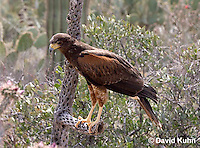 0405-1217  Harris's Hawk Perched Looking for Prey, Harris Hawk (Bay-winged Hawk or Dusky Hawk), Parabuteo unicinctus  © David Kuhn/Dwight Kuhn Photography