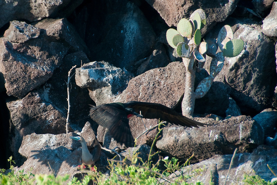 This red footed booby on Genovesa Galapagos is looking very distressed, because the firgatebird just stole the twig he wanted to bring home.