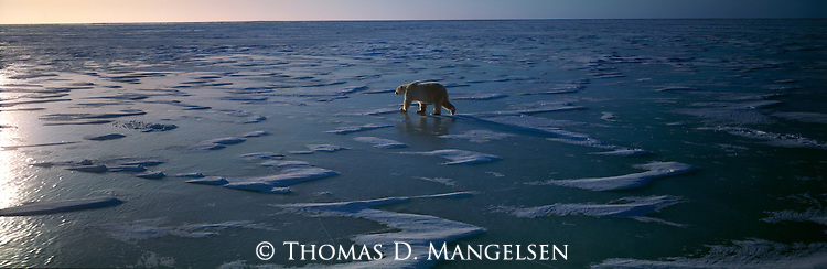 A polar bear walks across the frozen ice.