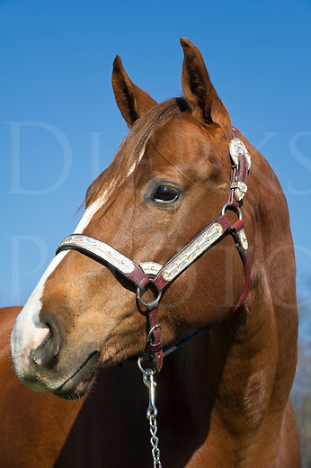 "Horse head shot close up against blue sky showing alert poise, brown chestnut animal with silver halter, ""Squeak""."