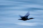 Brandt's Cormorant (Phalacrocorax penicillatus) flying, Santa Cruz, Monterey Bay, California