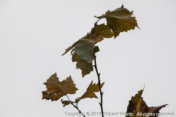 A detail of a tree in fall transition, a half dozen dying leaves aganst a gray clouded sky.