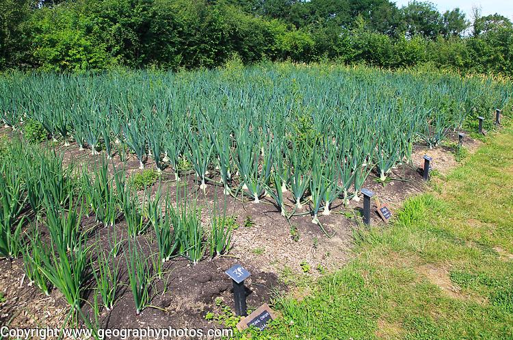 Onions growing in vegetable garden, Sissinghurst castle gardens, Kent, England, UK