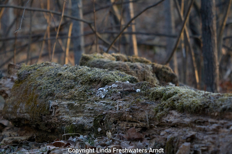 A ruffed grouse's drumming log