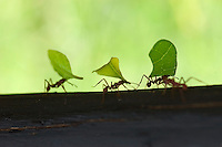 Leaf cutter ants (Acromyrmex sp) carrying leaves to their nest in Costa Rica.