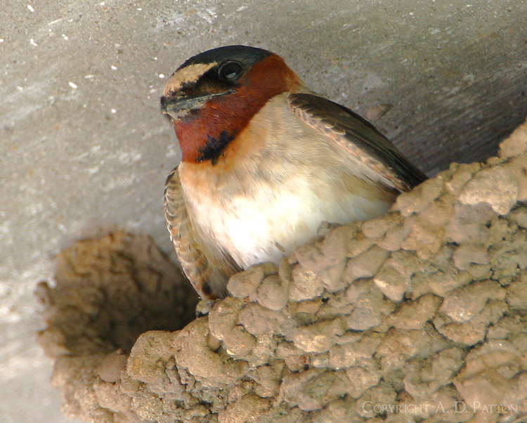 Cliff swallow building nest