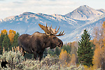 Moose (Shiras subspecies)