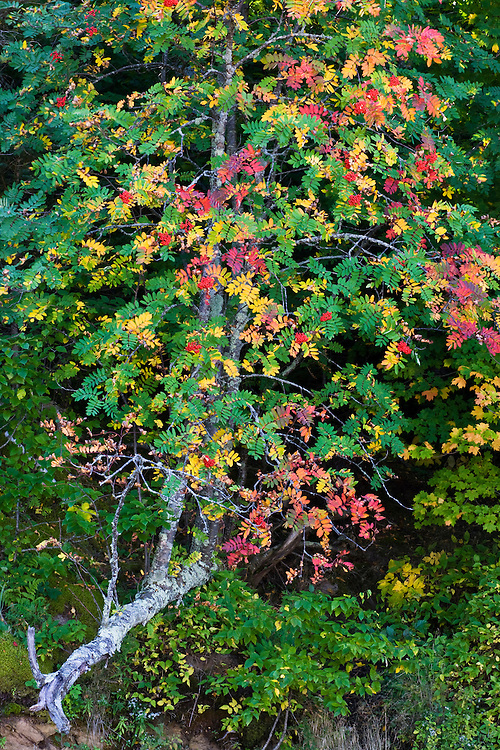 Mountain Ash at Miners Beach; Pictured Rocks National Lakeshore, MI