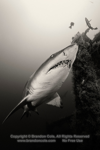 TP0735-Dbw. Sand Tiger Shark (Carcharias taurus) swimming near shipwreck. Fearsome appearance but not aggressive, posing no threat to divers unless provoked; can hover in midwater by using stomach as a buoyancy compensator after they have gulped air at surface; feeds on bony fishes, sharks and rays, crustaceans, and squid; some migrate to warmer waters in fall and winter and cooler climates in spring and summer. North Carolina, USA, Atlantic Ocean. Color photo converted to black and white.<br /> Photo Copyright &copy; Brandon Cole. All rights reserved worldwide.  www.brandoncole.com