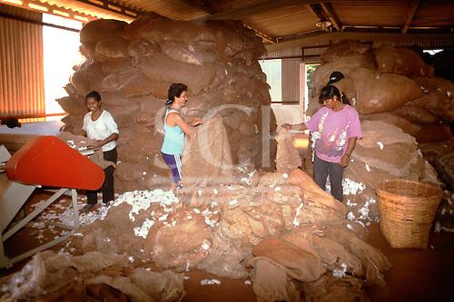 Rolandia, Parana State, Brazil. Female workers emptying sacks of raw cotton (Gossypium sp). into a machine.
