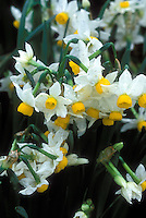 Narcissus tazetta susb. lacticolor aka canaliculatus species Daffodil (Division 8 Narcissus), dwarf daffodils