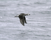 Long-tailed Duck Clangula hyemalis L 40-47cm.<br />