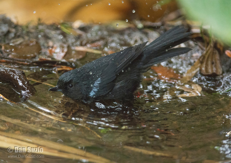 Glossy flowerpiercer, Diglossa lafresnayii, bathing in a shallow stream at Yanacocha Reserve, Ecuador