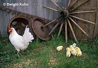 DG13-025z  Chicken - newly hatched chicks, White Leghorn