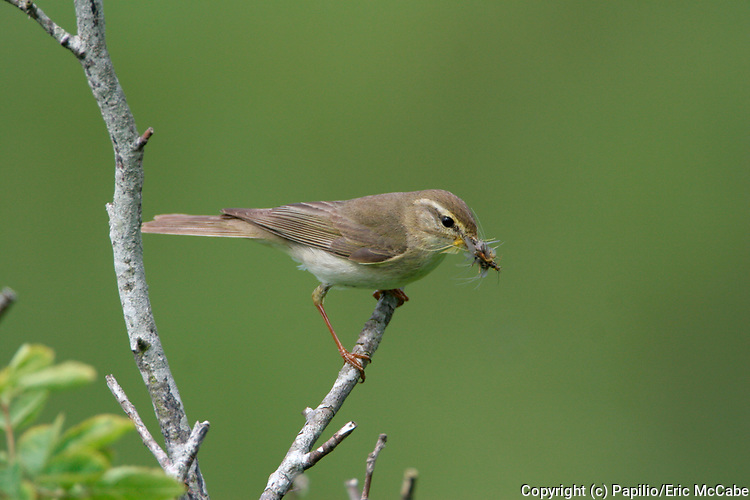 Willow Warbler, Phyllosopus trochilus approaching nest with food in Angus<br /> nature<br /> wildlife<br /> british<br /> britain<br /> Scotland<br /> bird<br /> migrant<br /> summer<br /> passerine<br /> prey<br /> predator<br /> mayfly<br /> Phyllosopus trochilus<br /> Phyllosopus<br /> UK<br /> warbler