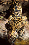 Jaguar (Panthera onca) - captive, drinking water from stream, showing powerful muscles, spotted fur, jungle