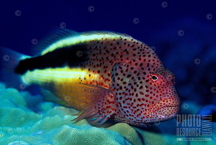 A Blackside Hawkfish (Paracirrhites forsteri)perched on Lobe Coral. Hawaiian name is pilikoa.