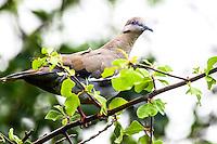 Zenaida Asiatica por su nombre cient&iacute;fico , Paloma ala blanca,Paloma pitayera o  White - winged Dove , con distribuci&oacute;n de todo Mexico y el Sur de Estados Unidos. <br /> <br /> ****<br /> Reserva Monte Mojino (ReMM) de la Natural Culture International (NCI)<br /> <br /> Credito:LuisGutierrez