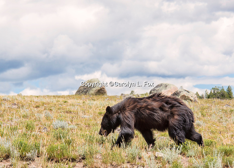 Black bears are a common site in Yellowstone National Park.