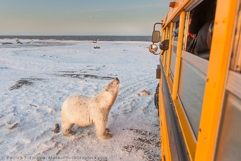 Polar bear shows curiosity with a school bus at Kaktovik, Barter Island, Arctic, Alaska.