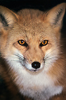 630749034 portrait of a red fox vulpes vulpes at a wildlife rescue facility