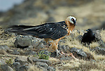 Lammergeier, Bearded Vulture, Gypaetus barbatus, Simien Mountains National Park, Ethiopia, with bones from goat carcass.Africa....