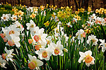 A field of daffodils greet the spring season at the Wadsworth Mansion in Middletown, CT, USA