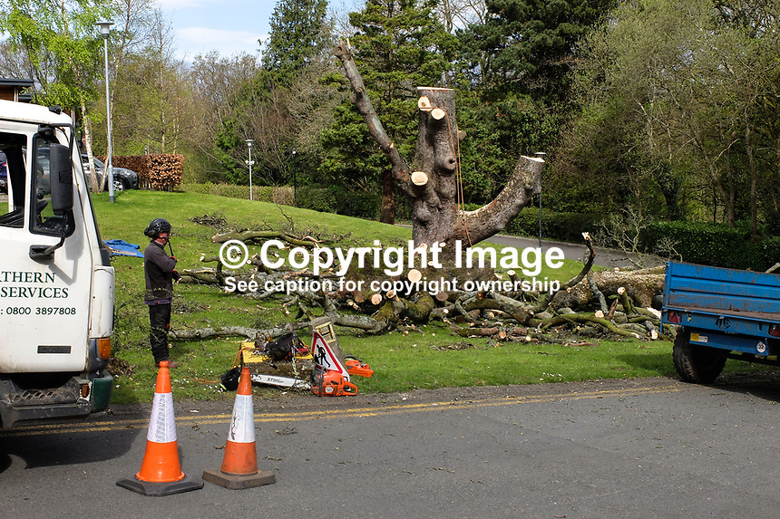 Almost completely demolished - a once mighty tree, which had died, is reduced to a mere stump by a tree surgeon. The tree, in the grounds of Stranmillis College, Belfast, N Ireland, UK, ended up as wood chips. April, 2017, 201704113397<br /> <br /> Copyright Image from Victor Patterson, 54 Dorchester Park, <br /> Belfast, UK, BT9 6RJ<br /> <br /> t1: +44 28 9066 1296 (from Rep of Ireland 048 9066 1296)<br /> t2: +44 28 9002 2446 (from Rep of Ireland 048 9002 2446)<br /> m: +44 7802 353836<br /> <br /> e1: victorpatterson@me.com<br /> e2: victorpatterson@gmail.com<br /> <br /> www.victorpatterson.com<br /> <br /> Please see my Terms and Conditions of Use at www.victorpatterson.com. It is IMPORTANT that you familiarise yourself with them.<br /> <br /> Images used on the Internet must be visibly watermarked i.e. &copy; Victor Patterson within the body of the image and copyright metadata must not be deleted. Images used on the Internet have a size restriction of 4kbs and will be chargeable at current NUJ rates unless agreed otherwise.<br /> <br /> This image is only available for the use of the download recipient i.e. television station, newspaper, magazine, book publisher, etc, and must not be passed on to any third party. It is also downloaded on condition that each and every usage is notified within 7 days to victorpatterson@me.com<br /> <br /> The right of Victor Patterson to be identified as the author is asserted in accordance with The Copyright Designs And Patents Act (1988).