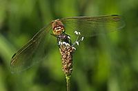 Sumpf-Heidelibelle, Sumpfheidelibelle, frisst eine erbeutete Fliege, mit Beute, Sympetrum depressiusculum, Spotted Darter, Sympétrum déprimé