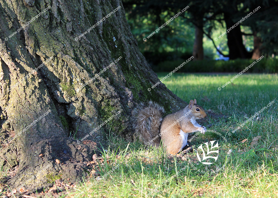 Stock photo: Squirrel standing alert on grass after climbing down from a big tree bark.