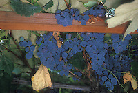 Concord grapes growing on trellis. Vitus 'Concord' fruits