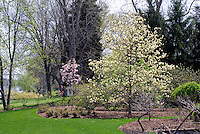 Magnolia 'Yellow Fever' in garden use  showing entire plant tree habit in landscape, lawn grass, water pond, mulched border, blue sky in spring flower