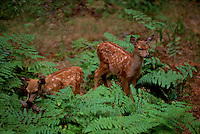 Young Deer Fawns (Odocoileus) surrounded by Ferns in a Forest, Kootenay National Park, BC, British Columbia, Canada